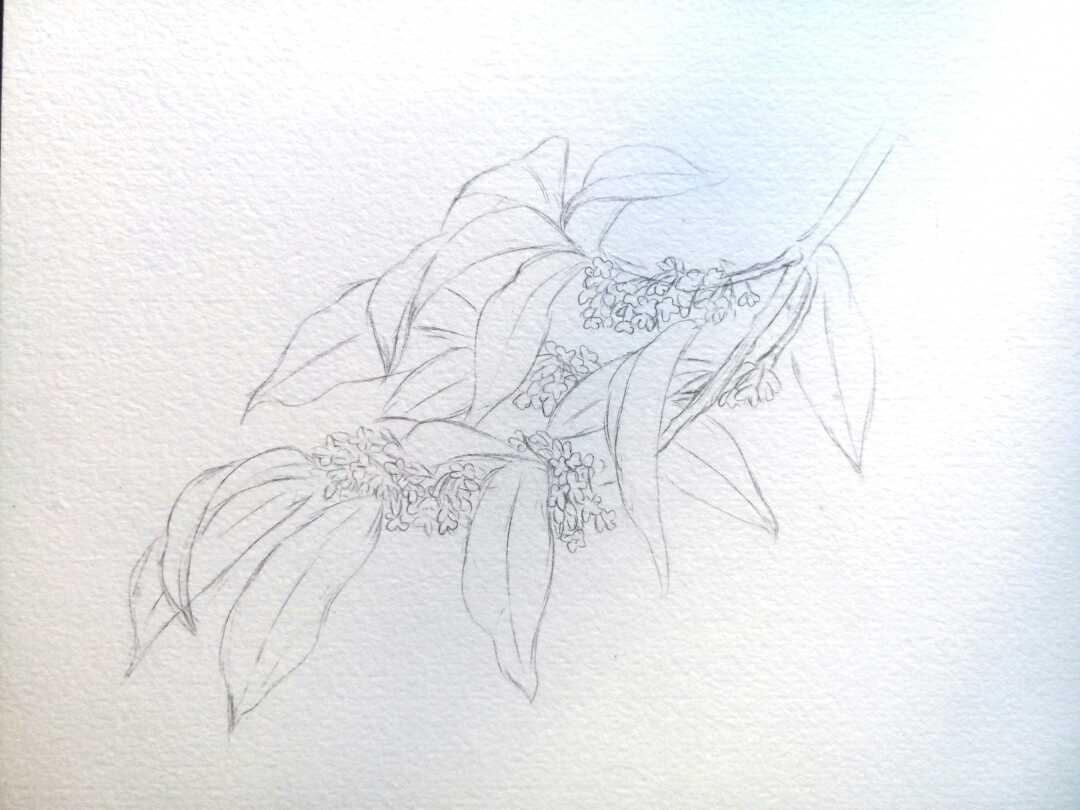 绿萝素描图画步骤